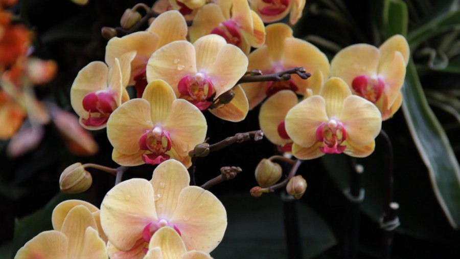 A.K. Burns, Orchid Show